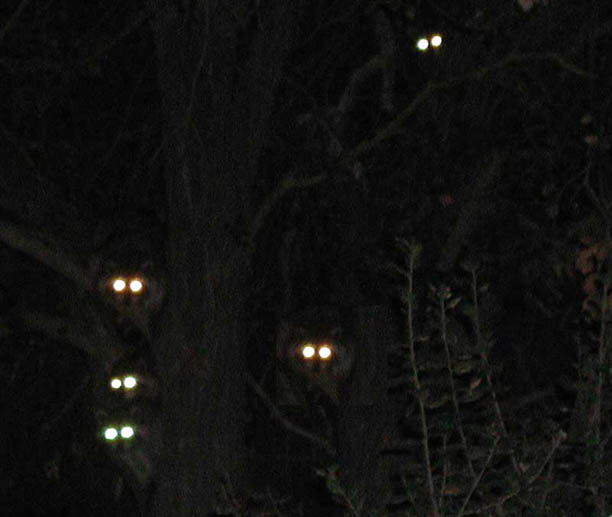 Backyard Sounds At Night : sometimes you can see the eyes of animals at night these are raccoon