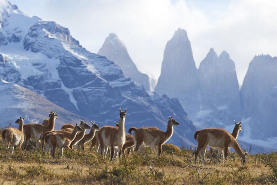 guanaco herd in Torres del Paine
