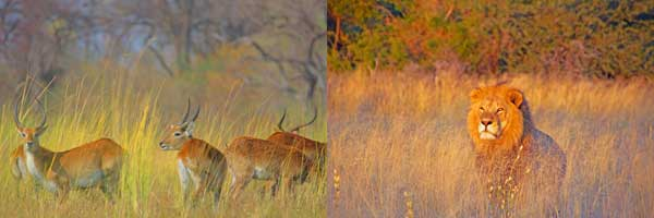 Lechwe antelope and lion in the grass