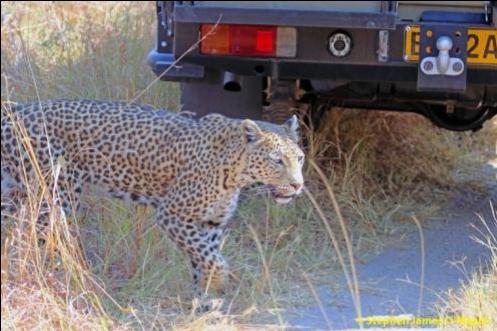 Leopard at Savute