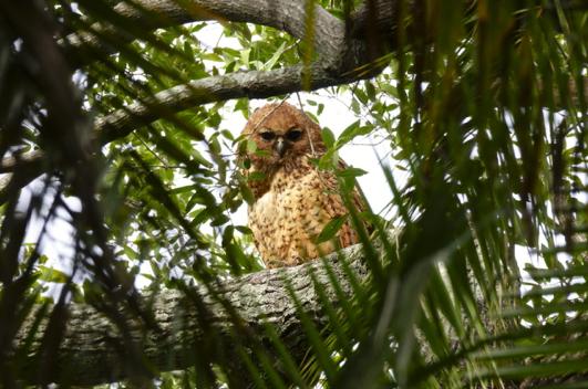 Rare Pel's fishing owl