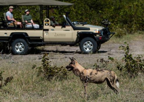 Wild dog at Khwai Private Reserve